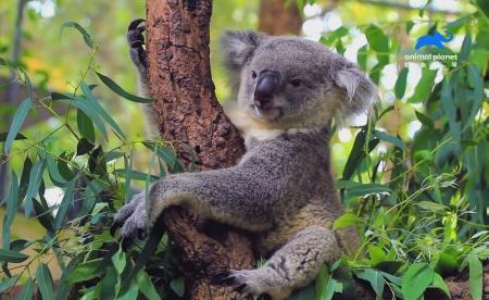澳洲國寶無尾熊一天抱樹長達20小時 原來是在「納涼」  地球清道夫非「牠」莫屬  胃酸竟比車用電池還強! 《動物奇門功夫》透過趣味畫面 介紹動物界冷知識
