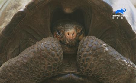 勇闖活火山  決不「龜」縮! 本世紀生態學上重大突破! 首度尋獲費南迪納巨陸龜 全球最後1隻!滅絕百年謎團終破解。動物星球頻道《滅絕動物大追蹤》每週二晚間10點首播