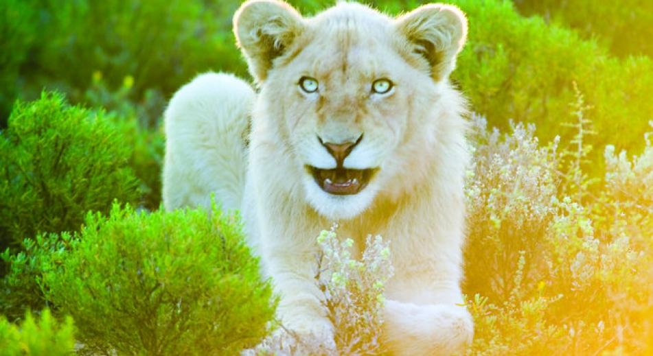 野地裡的白獅
